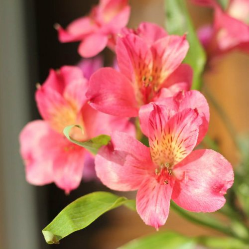 Alstroemeria from my Valentine's Day bouquet; I had white Alstroemeria in my wedding bouquet, too